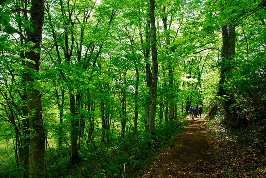 夢見平入口の新緑のブナ林