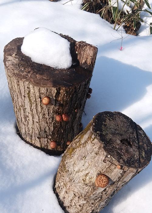 雪中のシイタケ
