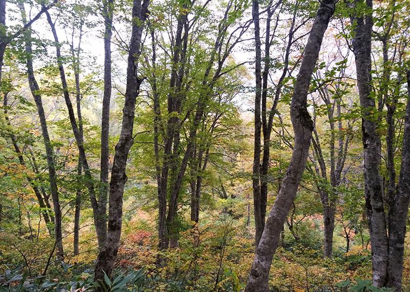 夢見平秋のブナ林